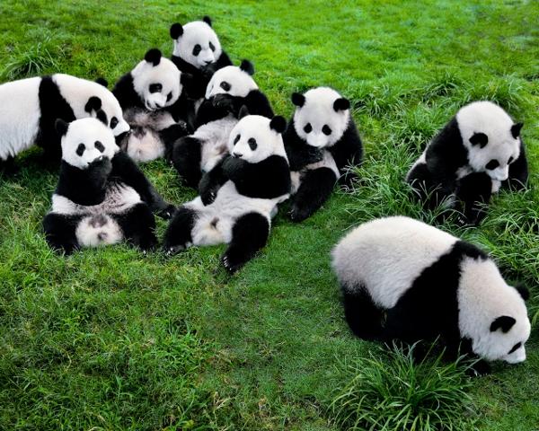 成都パンダ繁殖飼育研究基地