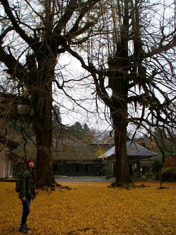 広徳寺の大イチョウ