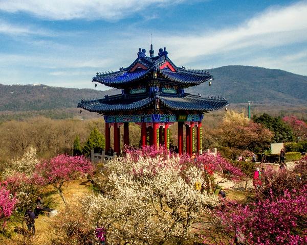 南京国際梅花祭り