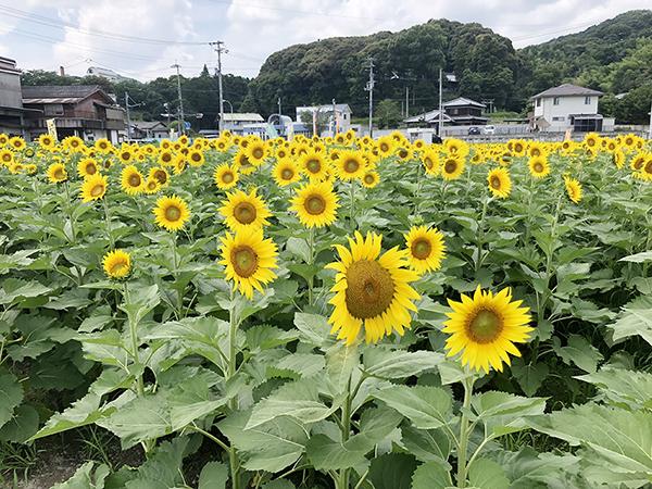 香川県まんのう町のひまわり畑