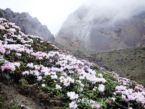 中国雲南省の高山に咲く高山植物