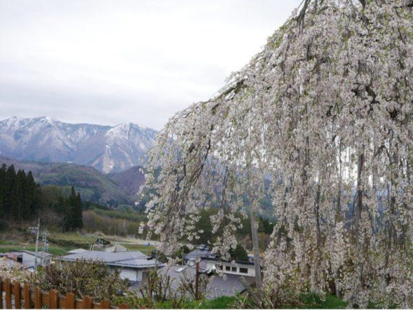 袖之山のシダレザクラ