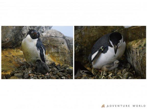 アデリーペンギンの画像 p1_27